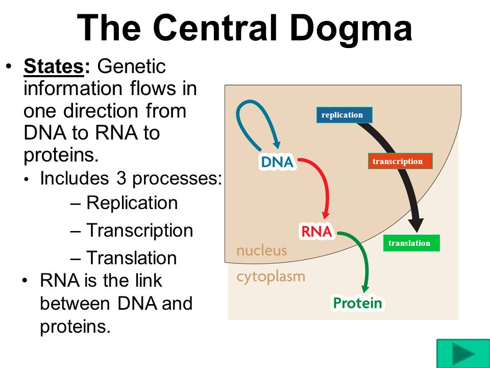 The Central Dogma States: Genetic information flows in one direction from DNA to RNA to proteins. replication.
