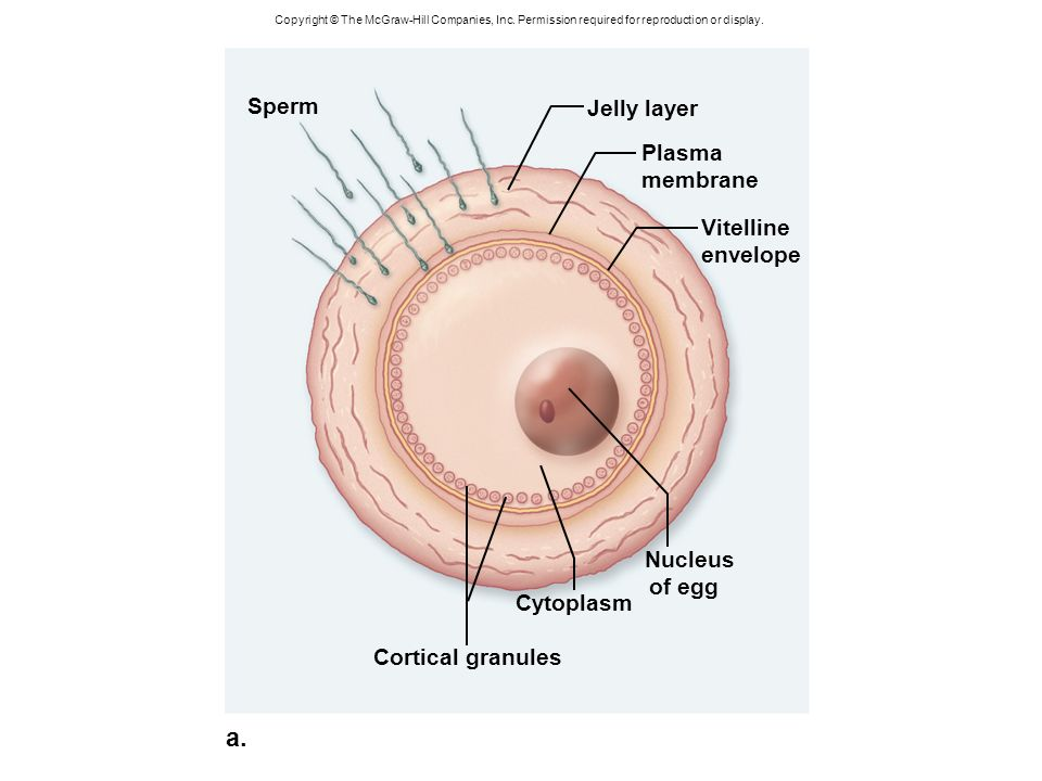 Cell membrane from a sperm cell goes that