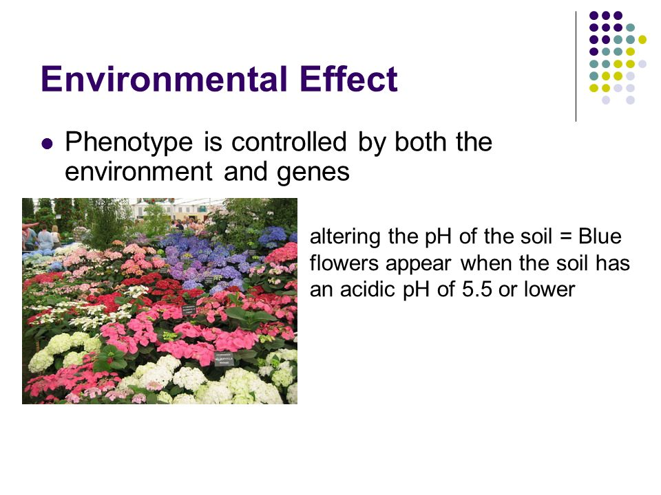 effect of environment on phenotype Environmental effects on phenotype the environment can affect the organism's phenotype (what is 'seen') it is usually the case that a phenotype for a.