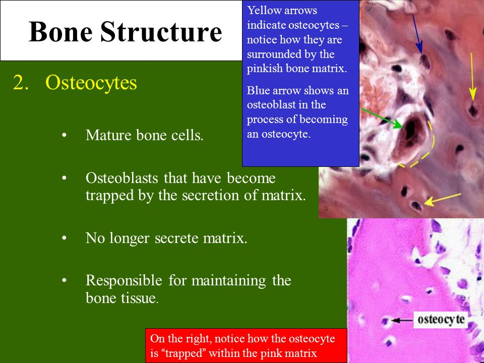 Mature bone cells are called