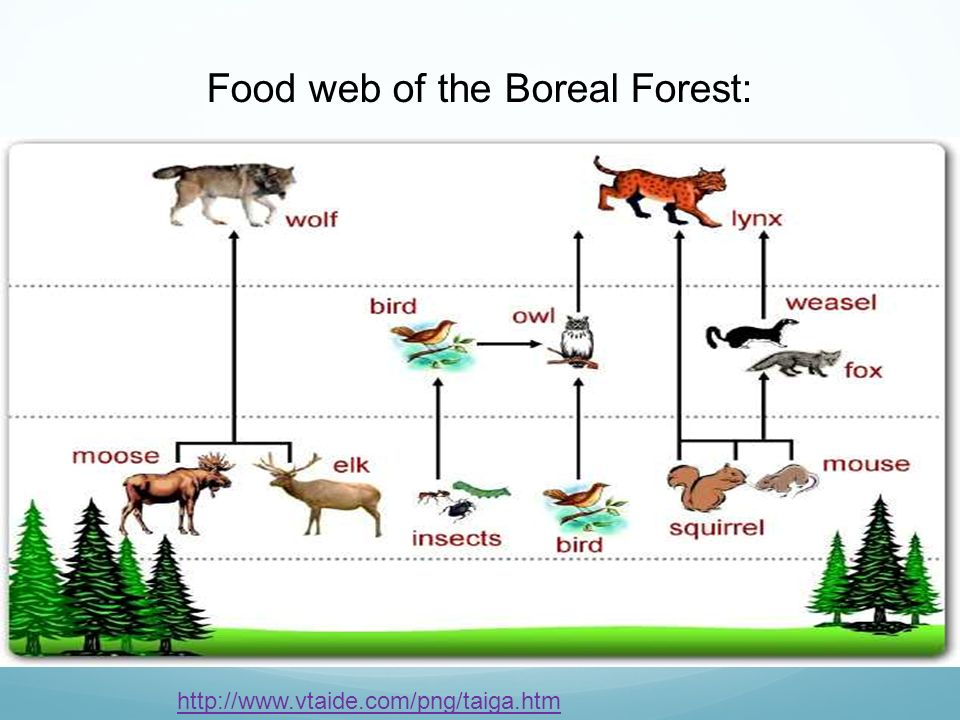 the boreal forest  aka taiga  ppt video online download computer parts diagram for kids desktop computer parts diagram