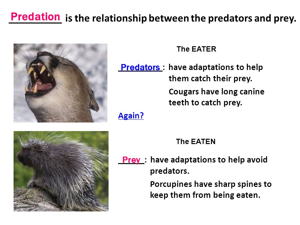 the relationship between predators and their prey To understand the concept of social behavior in predator-prey dynamics  when  individuals interact repeatedly, social relationships develop and these can  and  third, animals in groups can reduce their risk of being preyed upon by either.