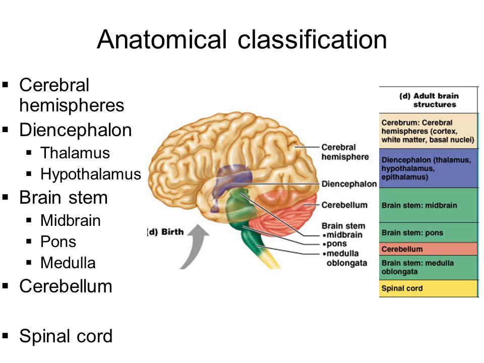 "Central Nervous System: ""CNS"" - ppt download Brainstem And Spinal Cord"