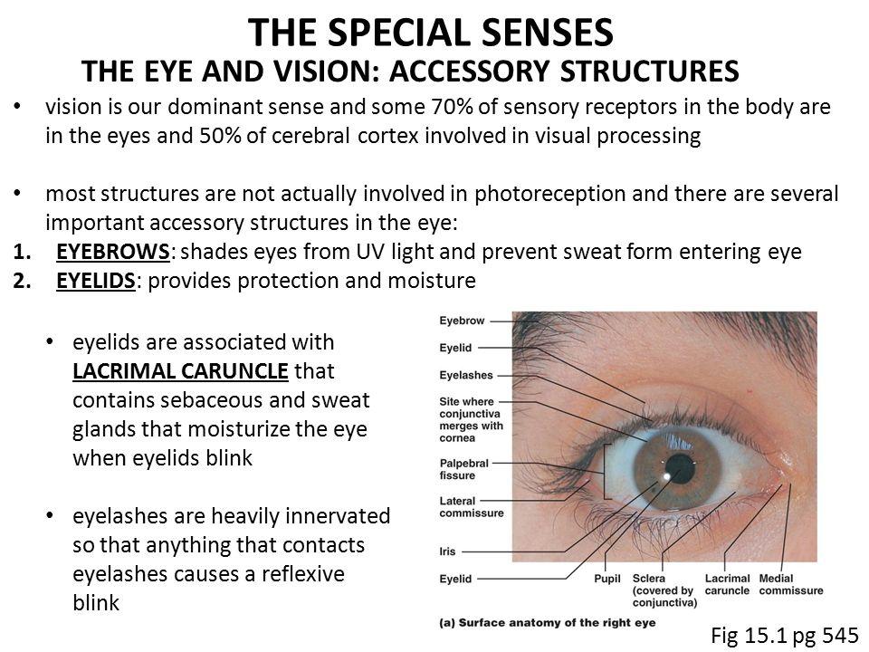 Magnificent Eye Surface Anatomy Images - Anatomy Ideas - yunoki.info