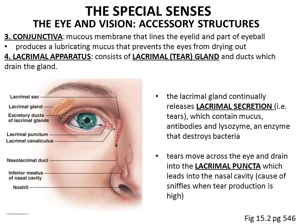 Lacrimal Apparatus Anatomy Images - human body anatomy
