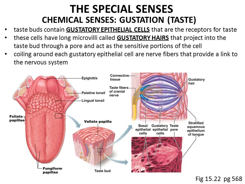 taste the gustatory system Olfaction and taste (sensory system) part 1 olfaction (smell) and gustation (taste) constitute chemical senses like other sensory systems, olfactory and taste systems provide information regarding the external environment the two sensory systems are anatomically and morphologically distinct they are discussed together in this topic because.