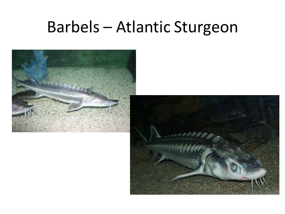 Barbels – Atlantic Sturgeon