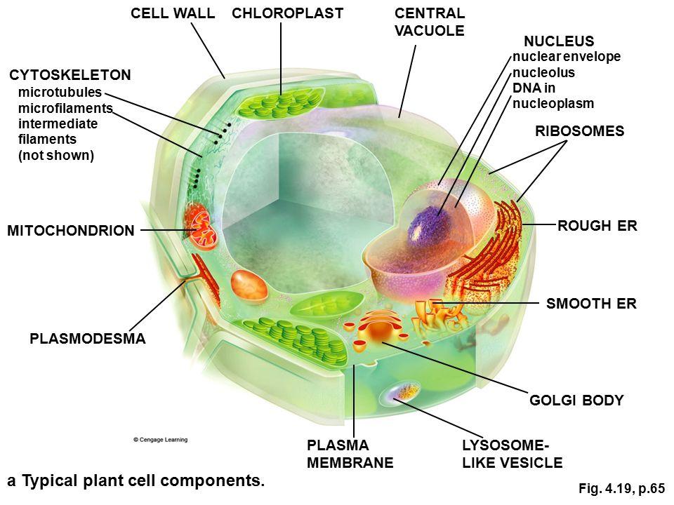 Nucleus plant cell