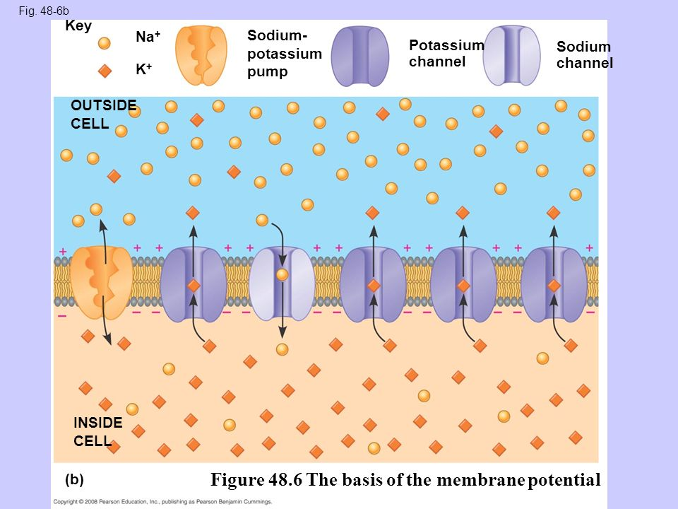 ionic mechanism propagation of action Ionic channels in the membrane allow flow of ions in and out each neuron maintains a potential difference across its membrane the inside is about -70mv compared to outside na+ and cl- on the outside and k+ on the inside the ionic pump maintains this difference by expelling na+ and cl- and allwoing k+ inside.