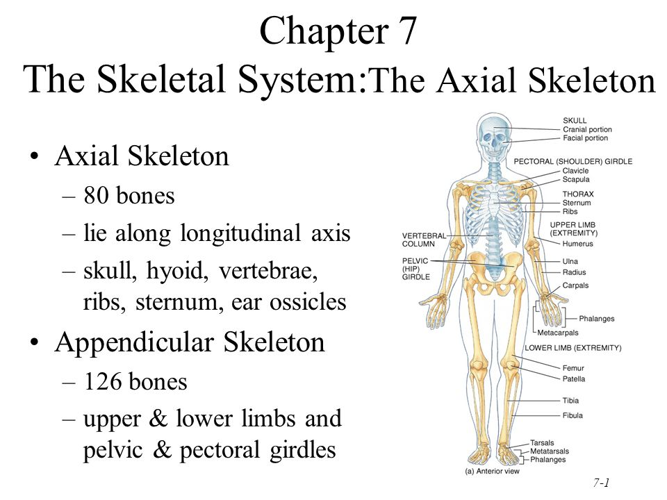 chapter 7 the skeletal system the axial skeleton ppt video online download. Black Bedroom Furniture Sets. Home Design Ideas