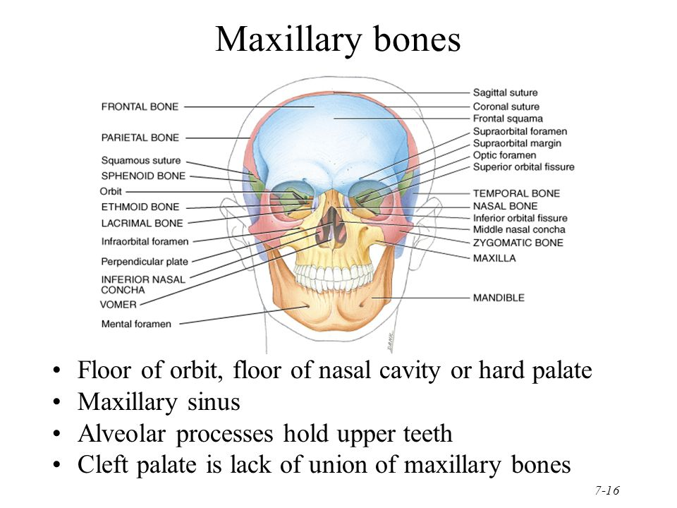 Chapter 7 the skeletal system the axial skeleton ppt for Floor of nasal cavity