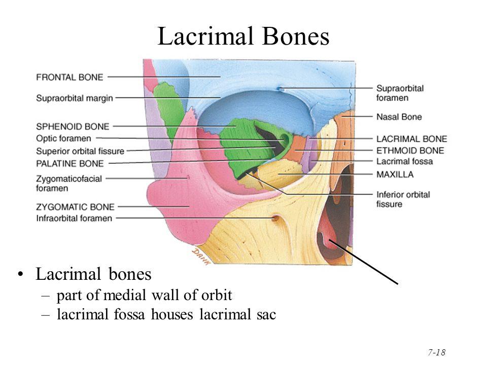 Images Of Lacrimal Bone Anatomy Spacehero