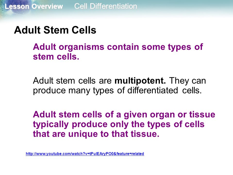 Adult Stem Cells Adult organisms contain some types of stem cells.