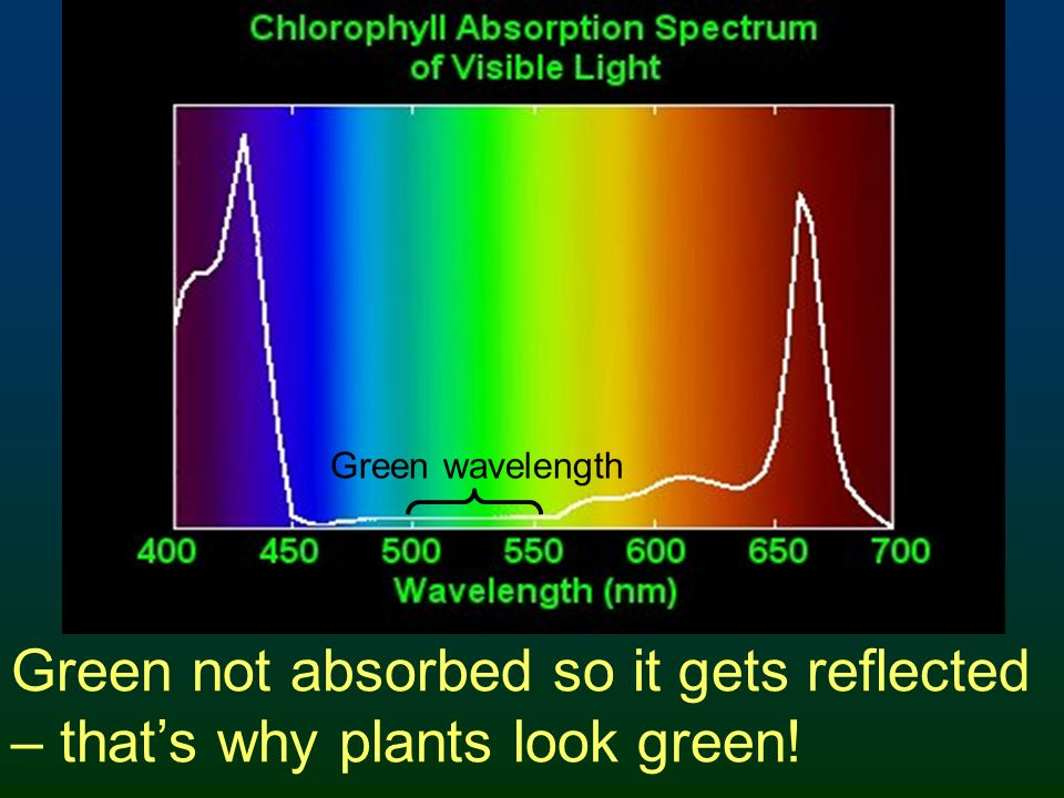 Green wavelength Green not absorbed so it gets reflected – that's why plants look green!