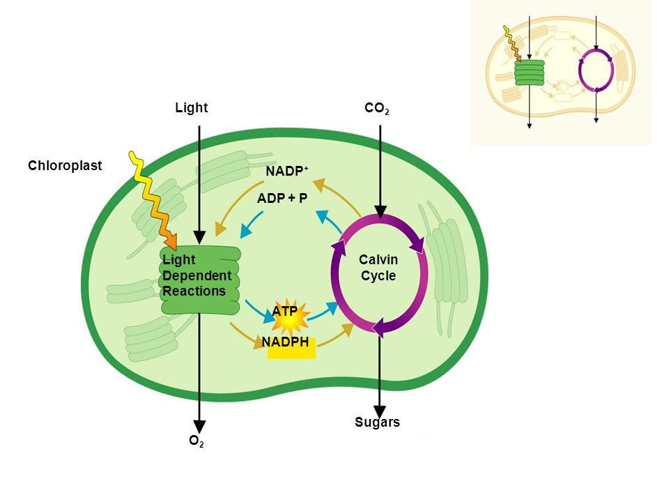 Light O2 Sugars CO2 NADPH ATP ADP + P NADP+ Chloroplast Light Dependent Reactions Calvin Cycle