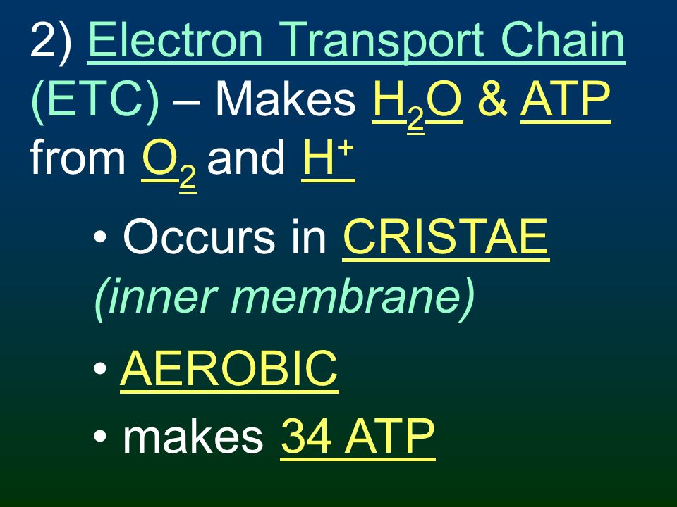 2) Electron Transport Chain (ETC) – Makes H2O & ATP from O2 and H+