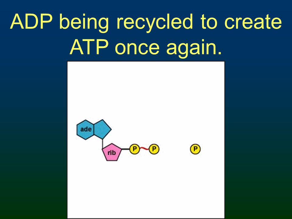 ADP being recycled to create ATP once again.