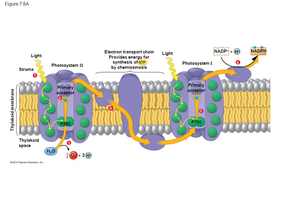 investigation of the light dependent electron transport using the dcpip 2014 biol1001 photosynthesis report received a credit of light are able variety of conditions in light dependent electron transport using dcpip.