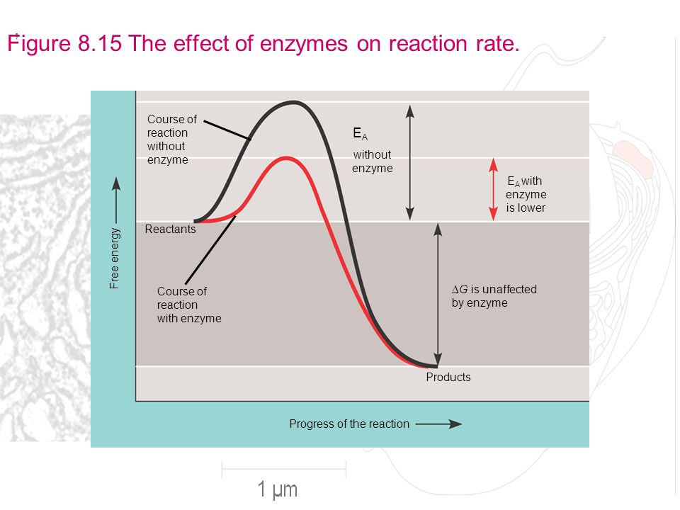 Effect of enzymes on reactions essay