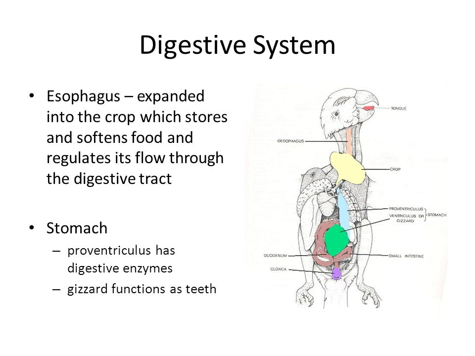 food through the digestive system essays Start studying digestive system essay learn vocabulary, terms, and more with flashcards food passes through the ileocecal valve into the large intestine.