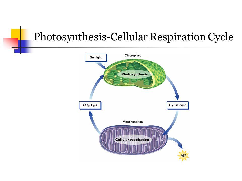 Photosythesis respiration cycle