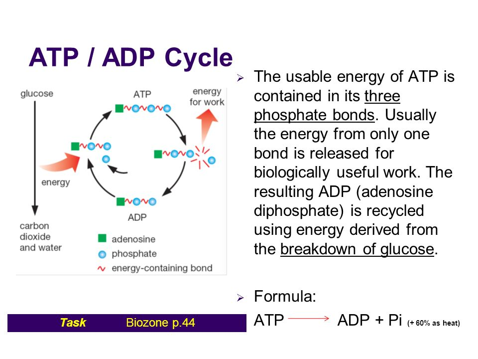 Diagram Illustrating The Atp Adp Energy Cycle Auto Electrical