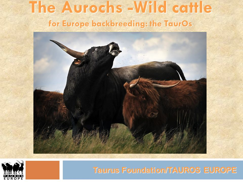 The Aurochs -Wild cattle for Europe backbreeding: the TaurOs