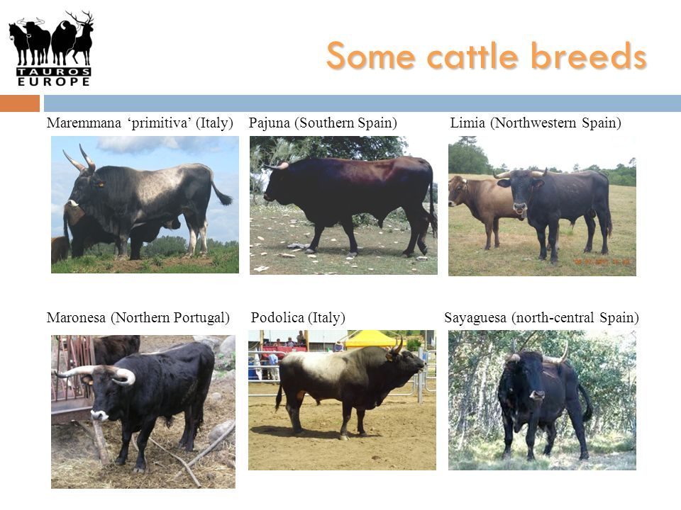 Some cattle breeds Maremmana 'primitiva' (Italy) Pajuna (Southern Spain) Limia (Northwestern Spain)