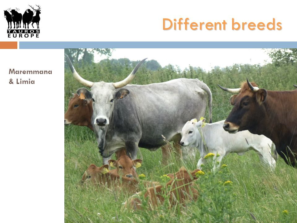 Different breeds Maremmana & Limia