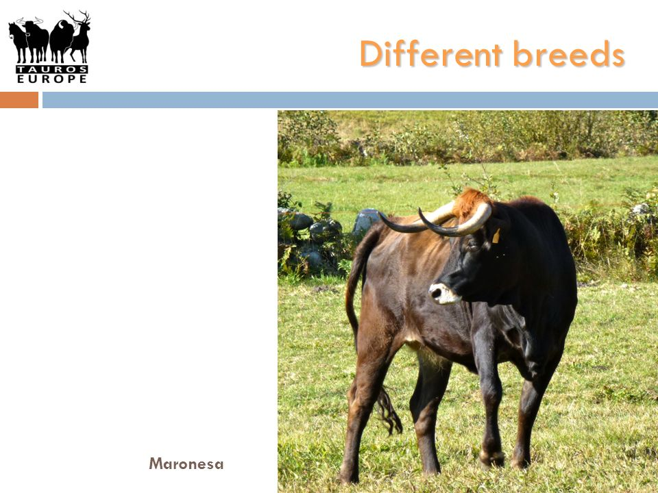 Different breeds Maronesa