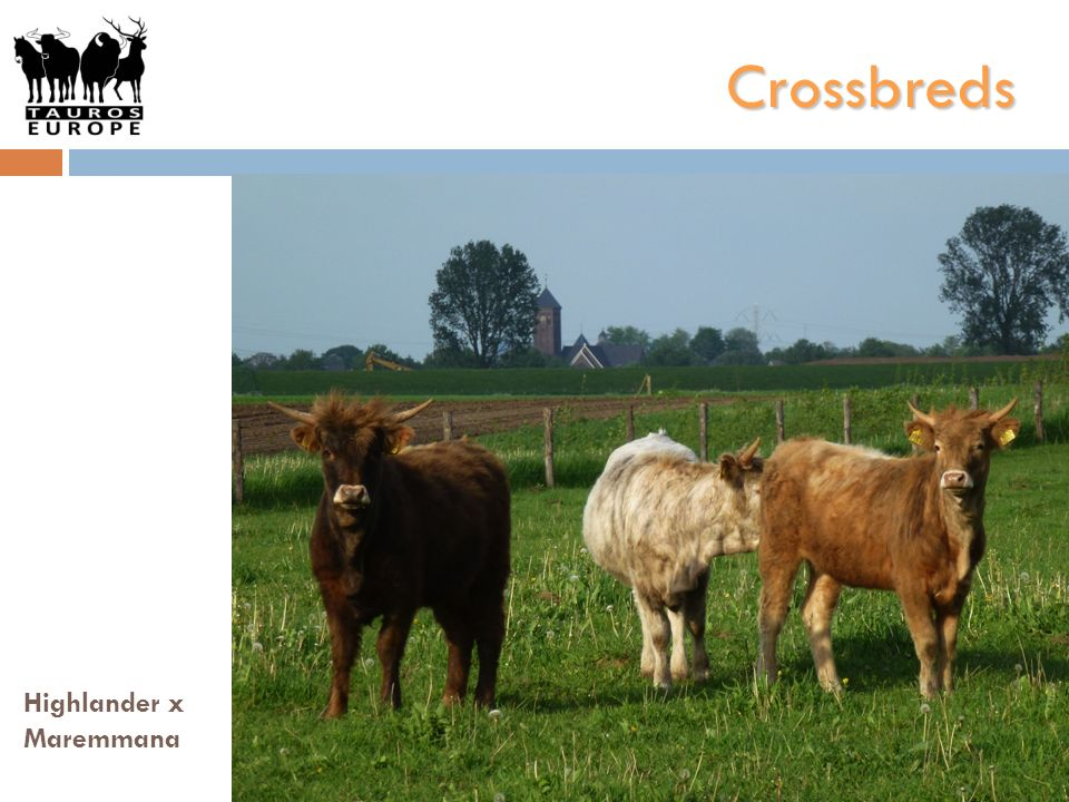Crossbreds Highlander x Maremmana