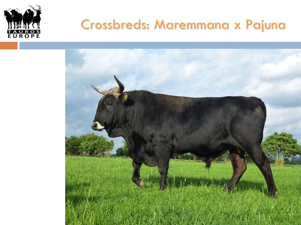 Crossbreds: Maremmana x Pajuna
