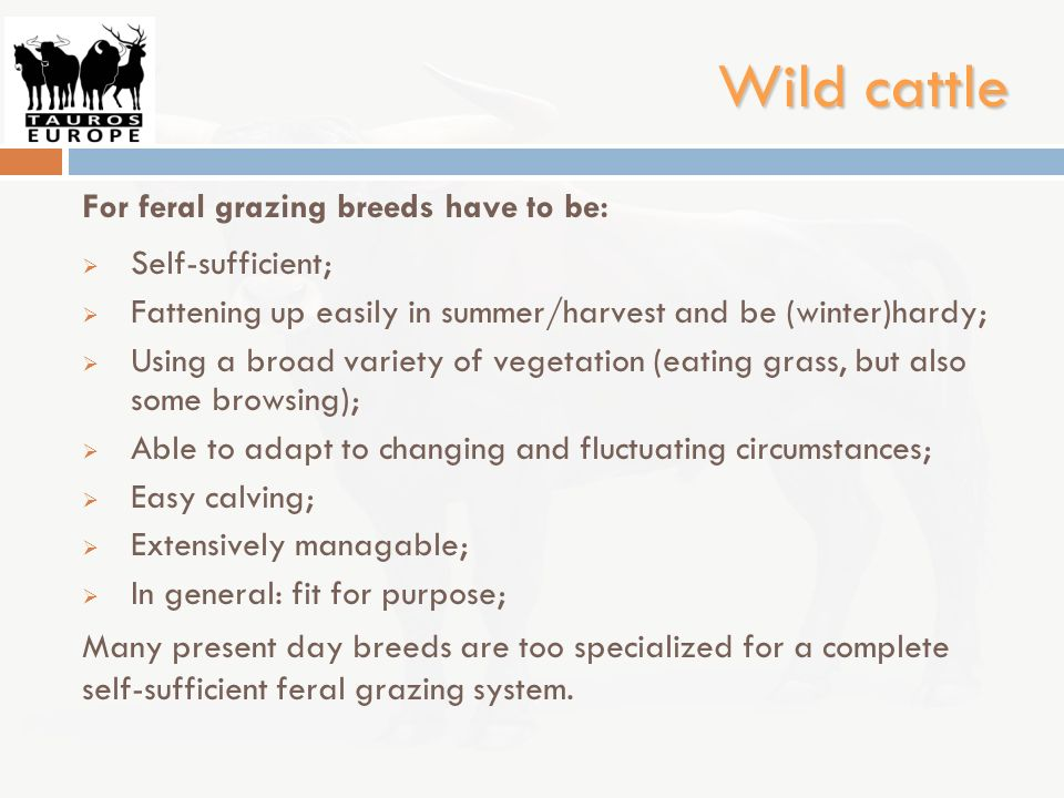 Wild cattle For feral grazing breeds have to be: Self-sufficient;