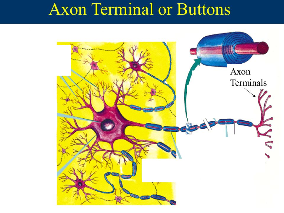 nervous system and terminal buttons Nervous system (1):biological bases of behavior, terminal buttons  introduction to psychology social sciences psychology.