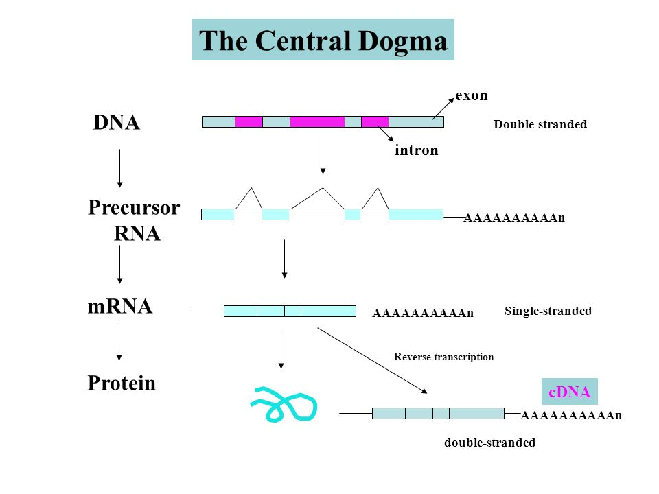 dna mrna and protein essay Now that we've described dna and rna, it's time to take a look at the process of protein synthesis the synthesis of proteins takes two steps: transcription and.