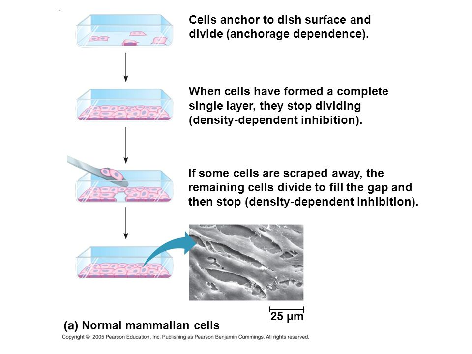 anchorage dependent cell culture Scientists at pbs biotech outline their approach for improving adherent cell culture  anchorage-dependent cell cultivation  of anchorage-dependent cells has been to use large numbers of .