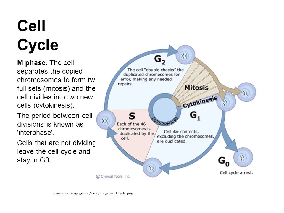 Cell cycle and Mitosis. - ppt video online download