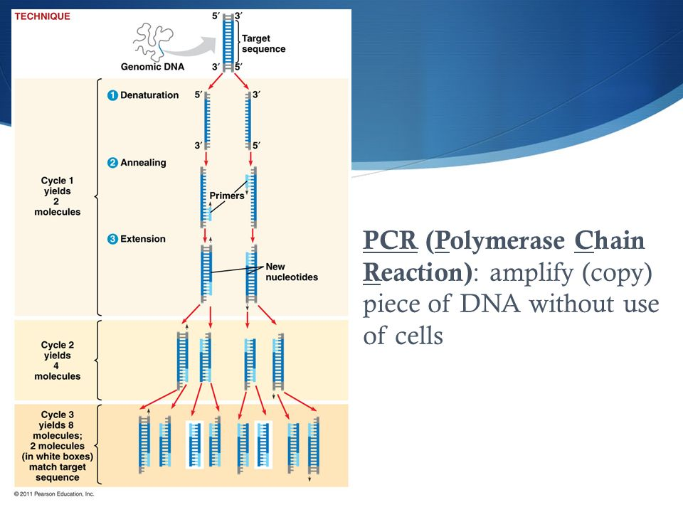 PCR (Polymerase Chain Reaction): amplify (copy) piece of DNA without use of cells