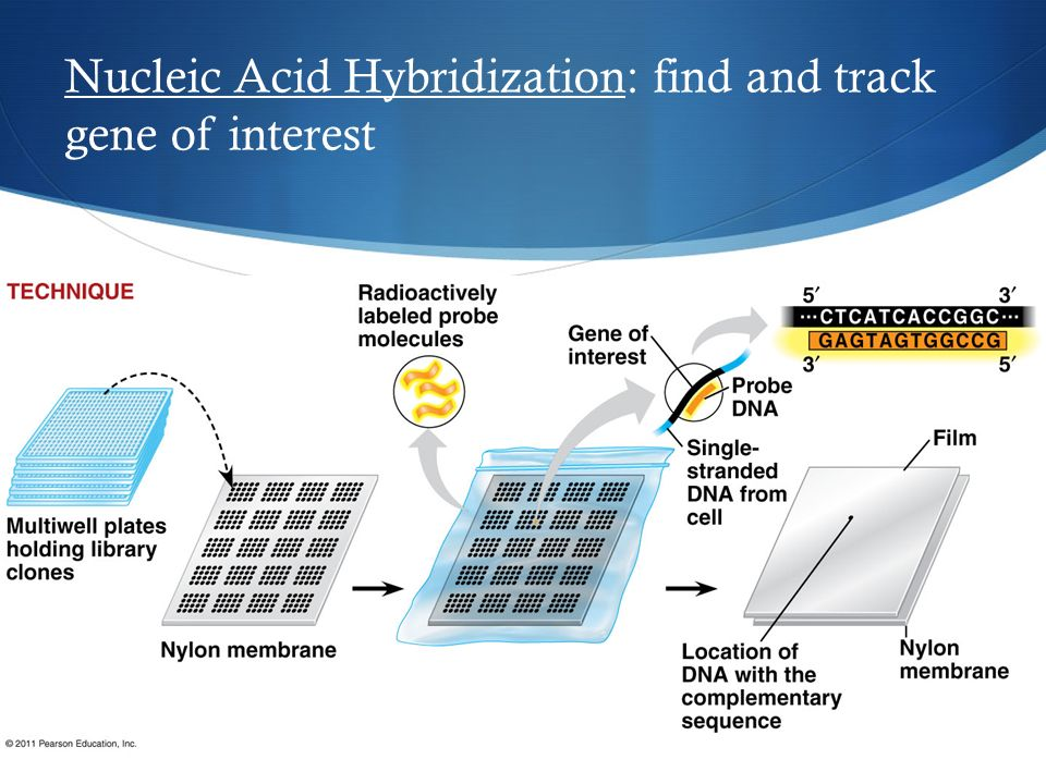 Nucleic Acid Hybridization: find and track gene of interest
