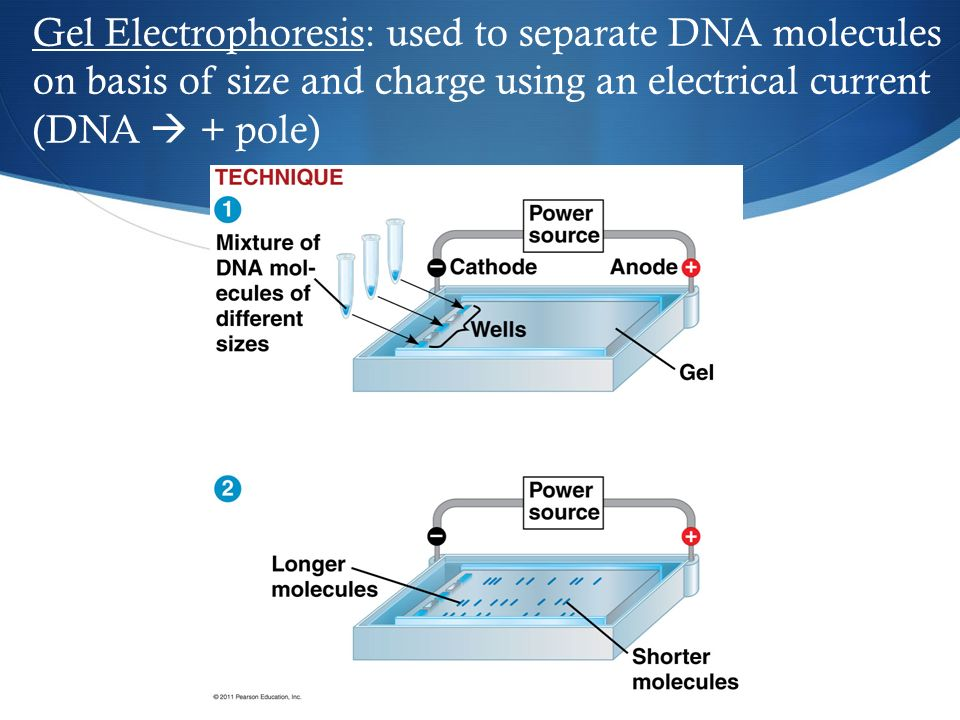 Gel Electrophoresis: used to separate DNA molecules on basis of size and charge using an electrical current (DNA  + pole)
