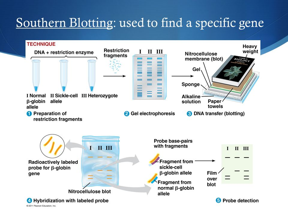 Southern Blotting: used to find a specific gene