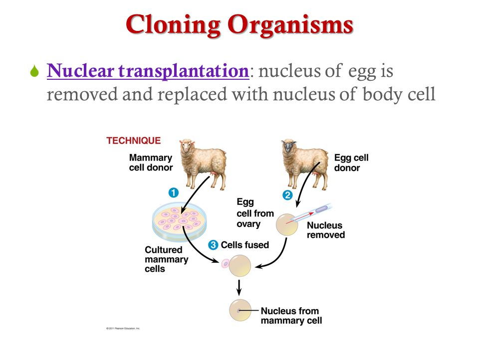 Cloning Organisms Nuclear transplantation: nucleus of egg is removed and replaced with nucleus of body cell.