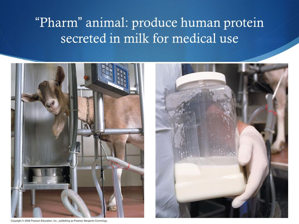 Pharm animal: produce human protein secreted in milk for medical use