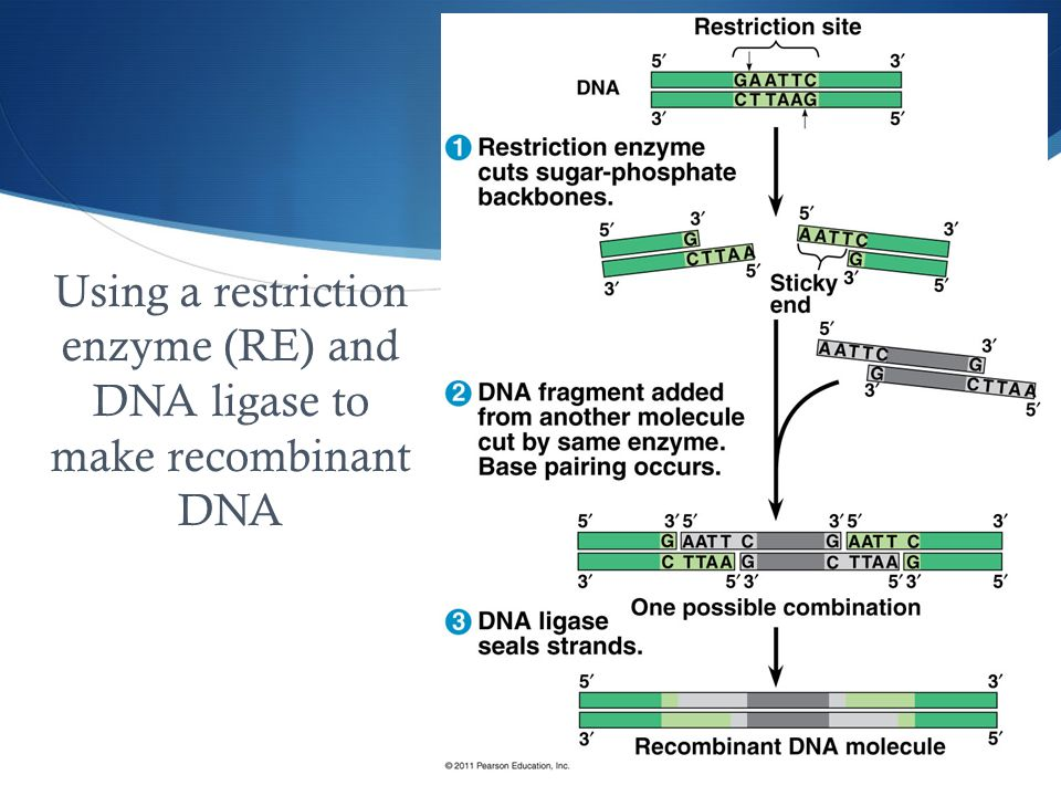 Using a restriction enzyme (RE) and DNA ligase to make recombinant DNA