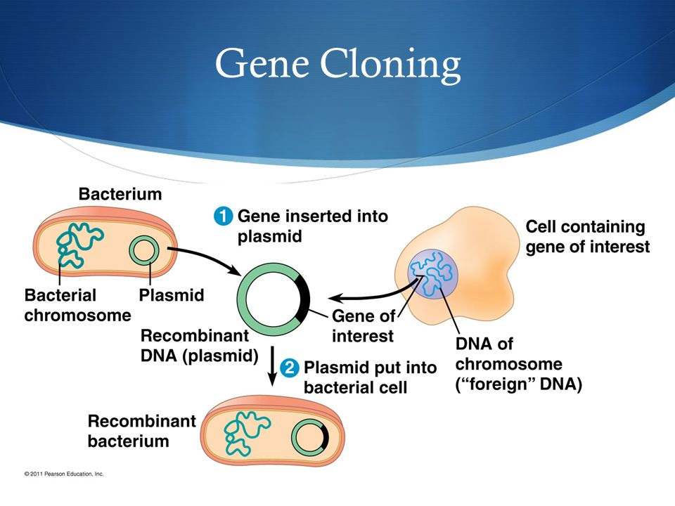 an analysis of cloning in genetic engineering / pros and cons / 9 big advantages and disadvantages of genetic engineering 9 big advantages and disadvantages of genetic  dna using molecular cloning and.