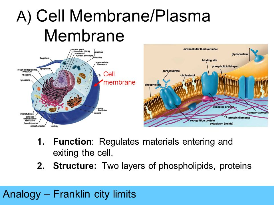 which organelle synthesises the phospholipids that form the plasma membrane Ap 1 cells chapter 3 spring 2015 1 the gelatinous supporting material of a cell is the a plasma membrane b nucleus c cytoplasm d organelle 2 small the chemical nature of phospholipids will cause them to form a single layer in a water environment true false.