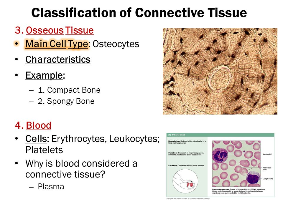 Images of Bone Connective Tissue Characteristics - #rock-cafe