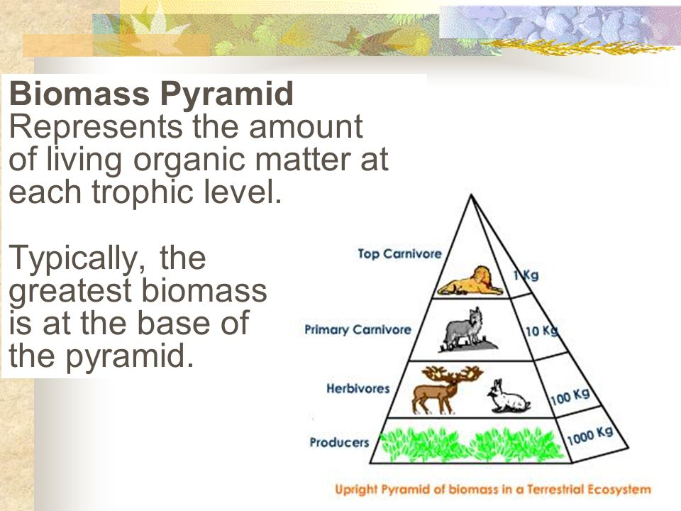 Biomass Pyramid Represents the amount of living organic matter at each trophic level.