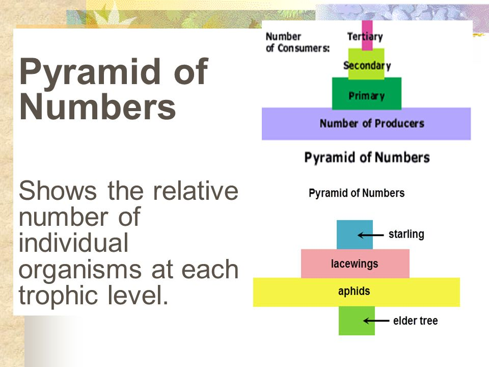 Pyramid of Numbers Shows the relative number of individual