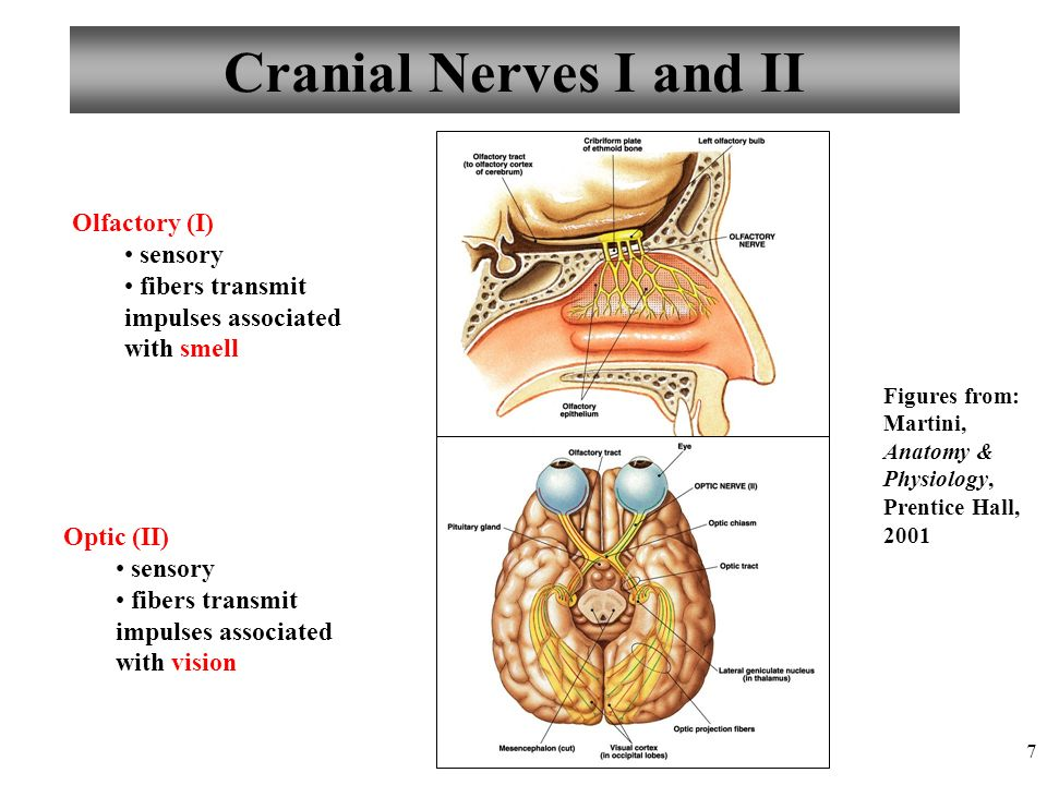 Anatomy and Physiology Peripheral Nervous System - ppt download